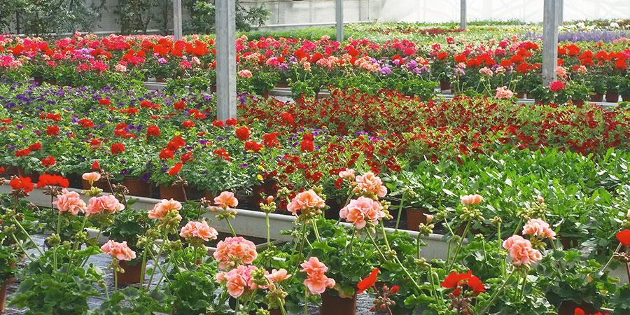 Balkonpflanzen Pelargonien